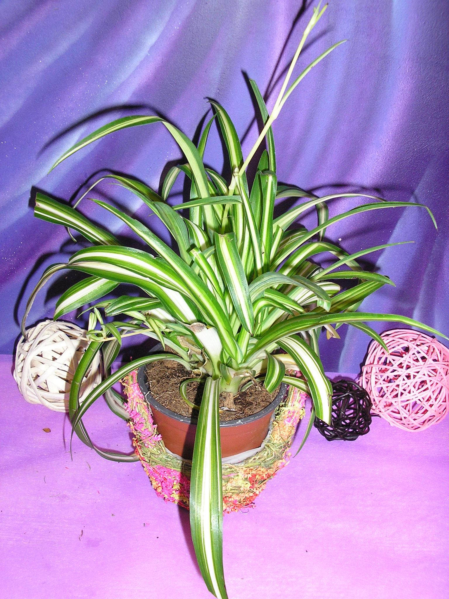 Цветок хлорофитум фото и описание